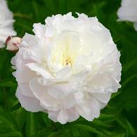 (LD) 'Shirley Temple'